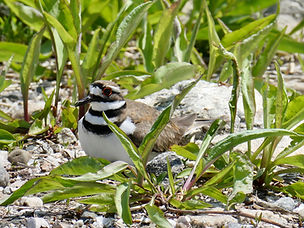 Killdeer 5.jpeg