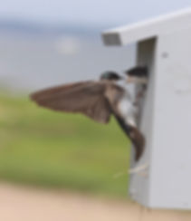 Tree swallow feeding young 2.jpeg