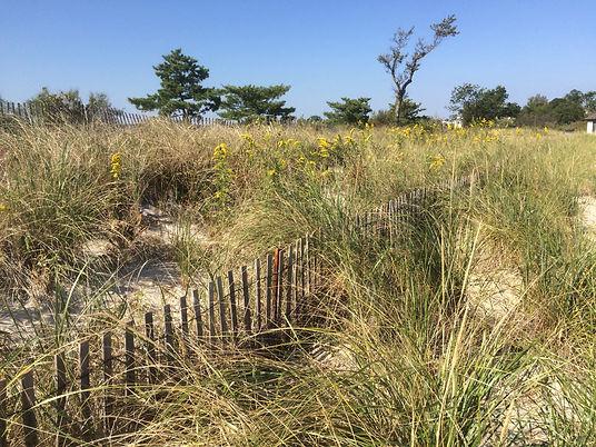 dune grass planting 2.jpeg
