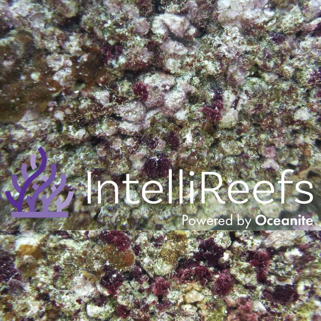 IntelliReefs Pink Coralline Algae 1