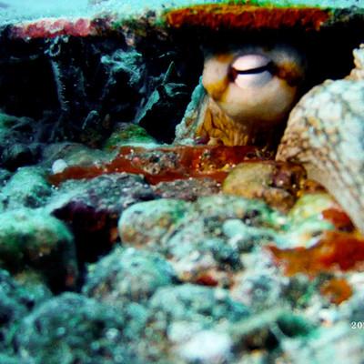 Oceanite Octopus Condo