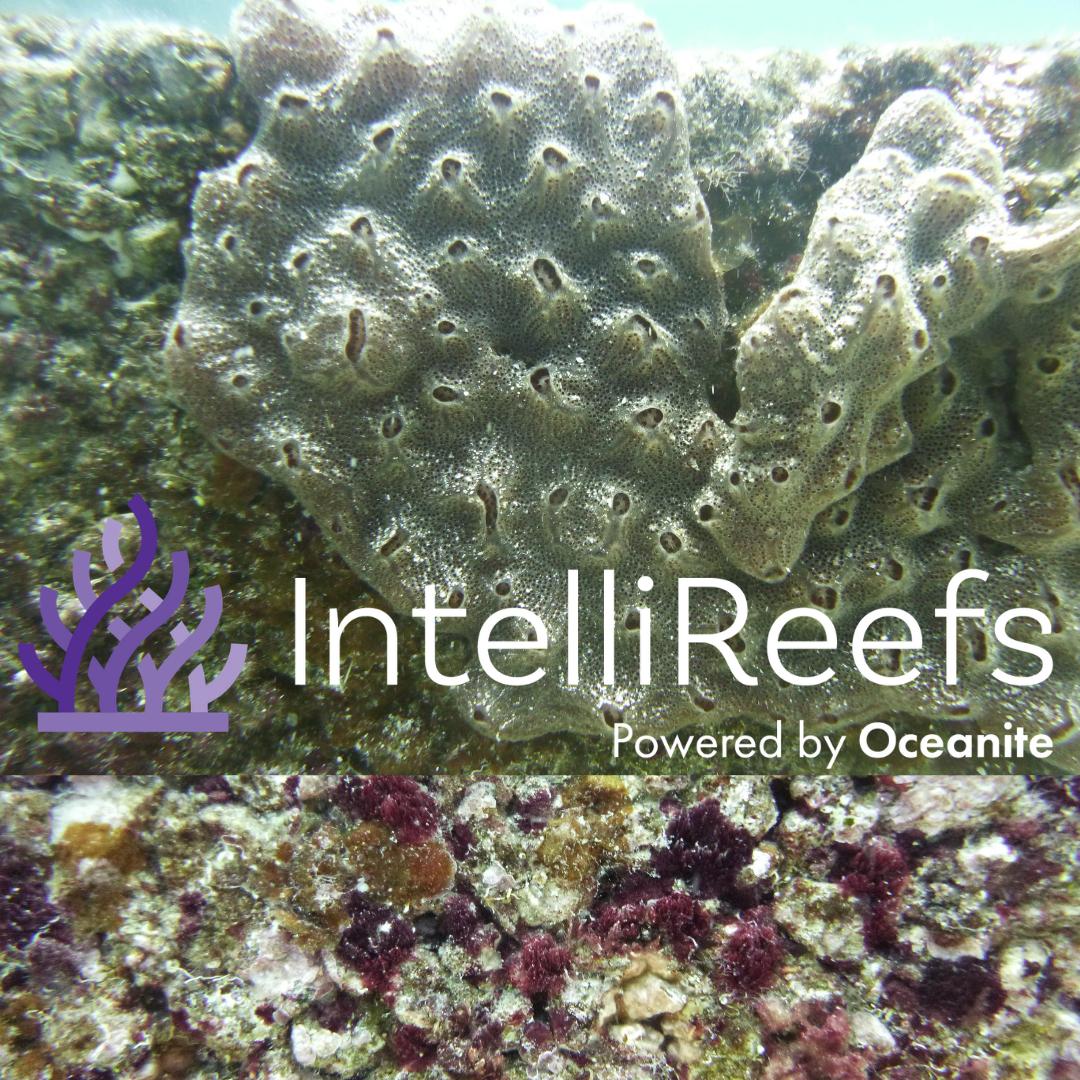 IntelliReefs Healthy sea Sponge 1