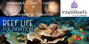 Increased coral settlement on IntelliReefs