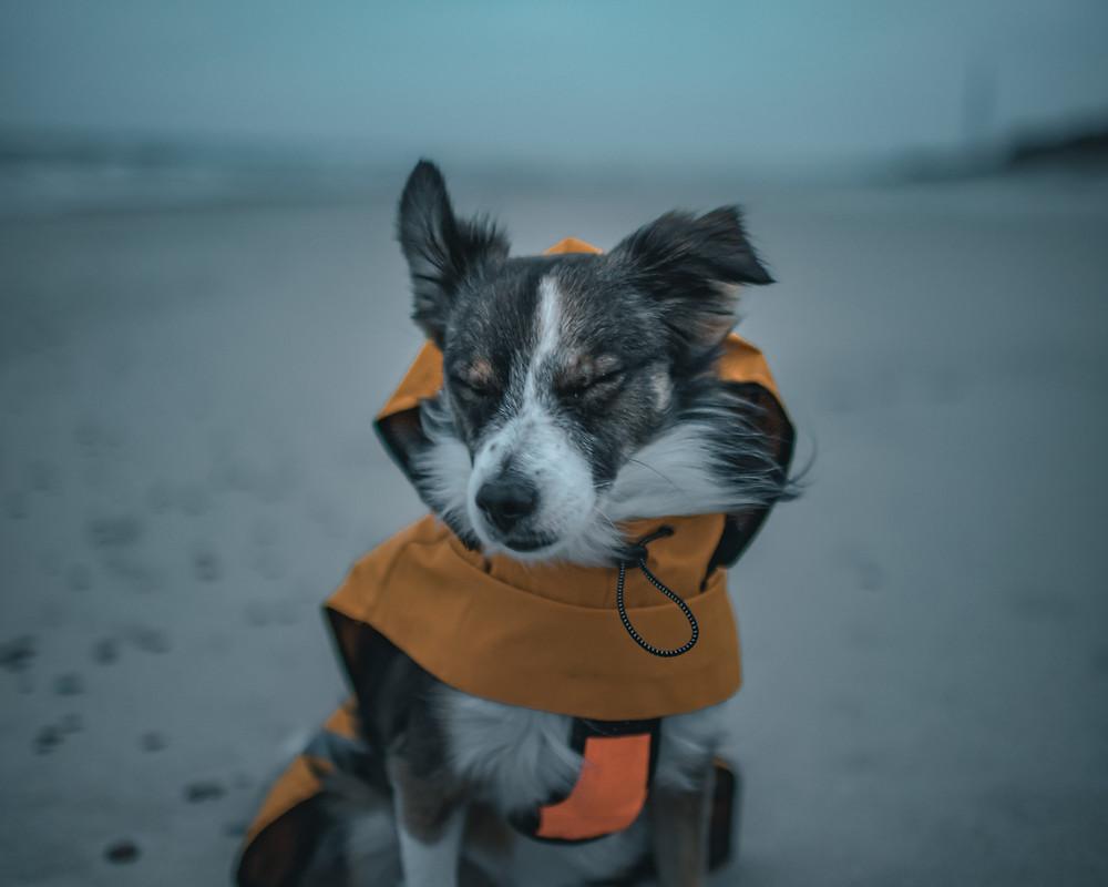 Psiak w psim odzieniu