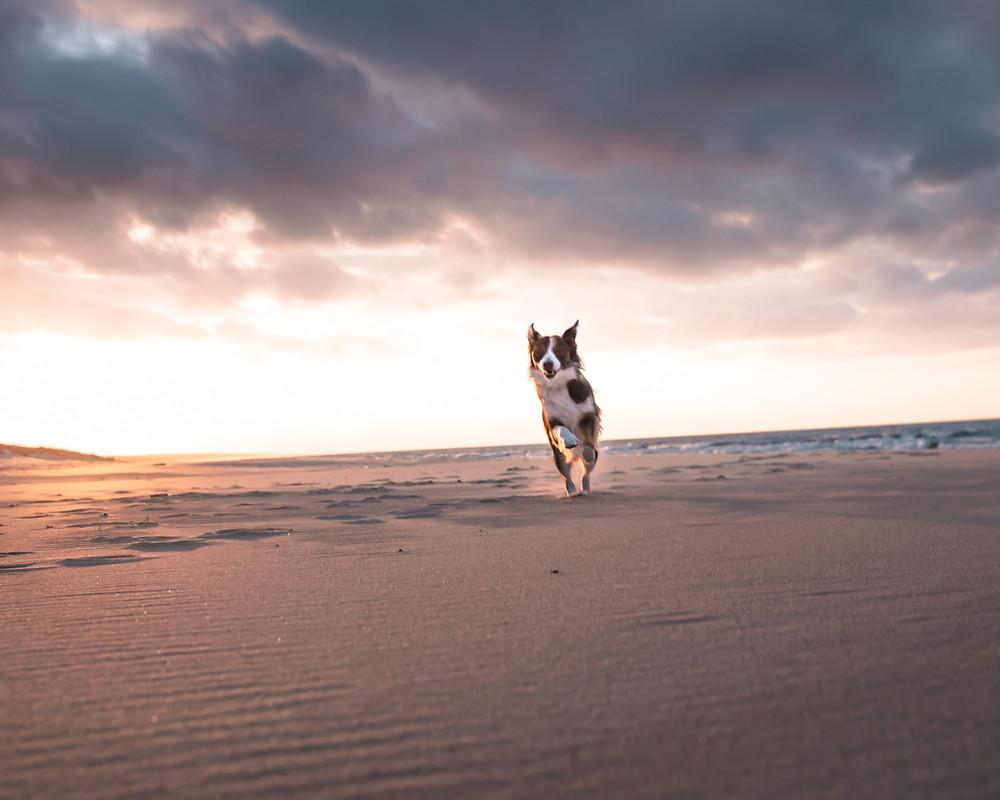 pies biegnący na plaży