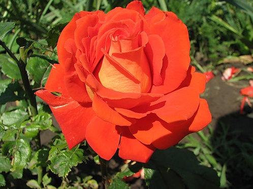 """Роза """" Верано"""""""