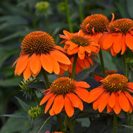 Coneflower Sombrero Adobe Orange