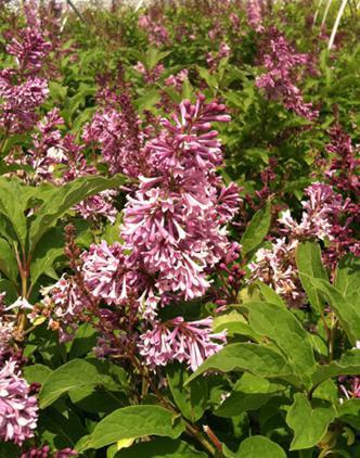 Lilac Donald Wyman