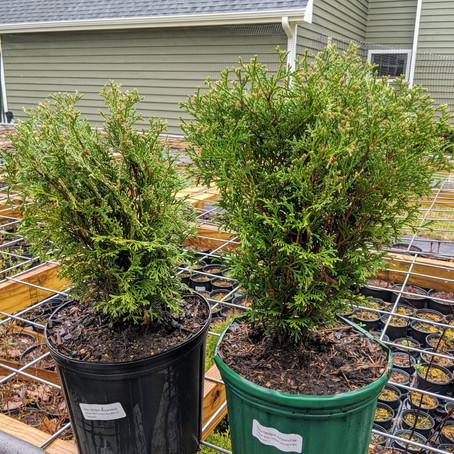 Arborvitae Hetz Midget