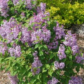 Lilac Scentara Pura