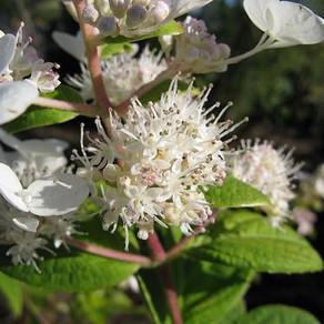 Hydrangea Tardiva
