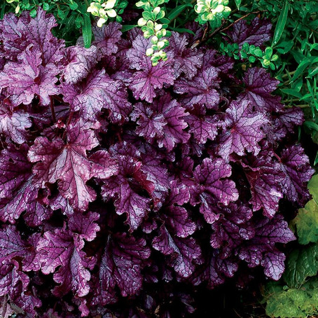 Coral Bells Forever Purple