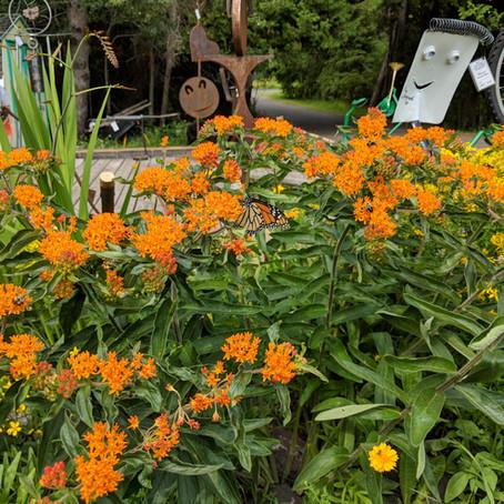 Milkweed Butterfly Weed Wild Orange