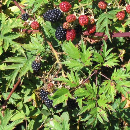 Boysenberry Thornless