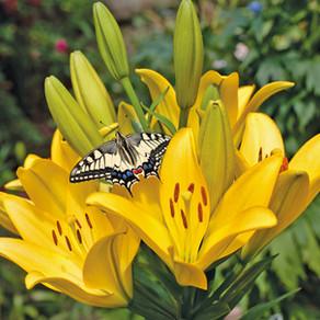 Asiatic Lily Nove Cento