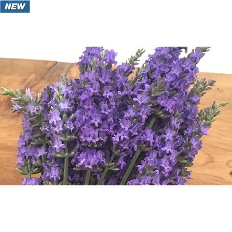 Lavender Sensational