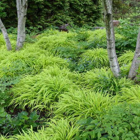 Hakone Grass All Gold