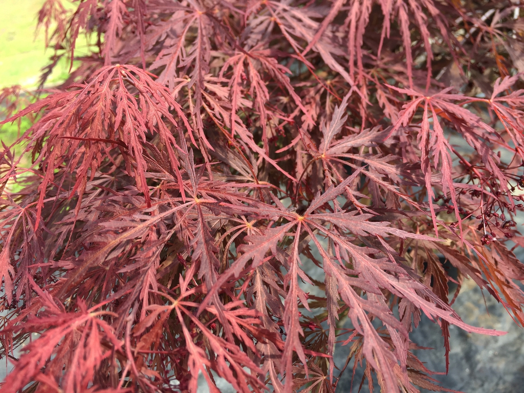 Japanese Maple Red Dragon
