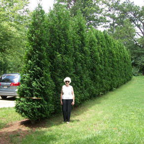 Arborvitae American Pillar