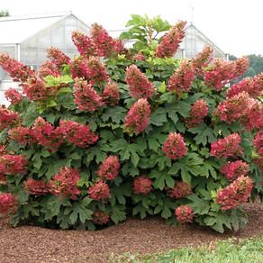 Hydrangea Ruby Slippers Oak Leaf