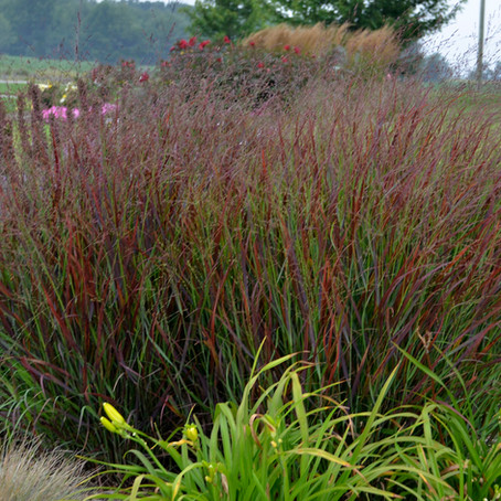 Cheyenne Sky Red Switchgrass