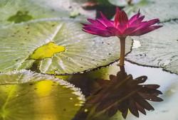 "Rodrigo Gaby ""Water Lily"""