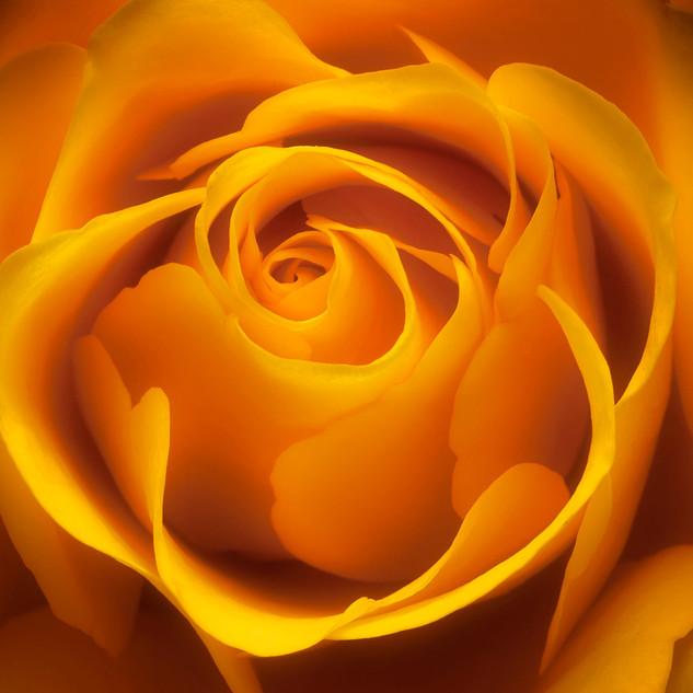 Golden Rose JM398.jpg