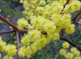 Australische Buschblüten Essenzen, sunshine wattle.jpg