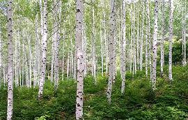 Baum Essenzen, birke.jpg