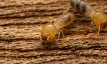 Ants & Termite