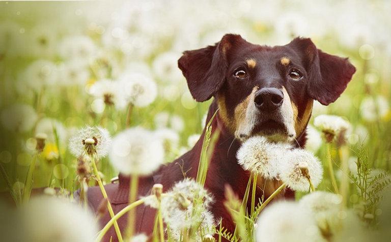 dog-in-dandelions-4473807_640_edited.jpg