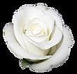 white-elegant-rose-transparent-isolated.
