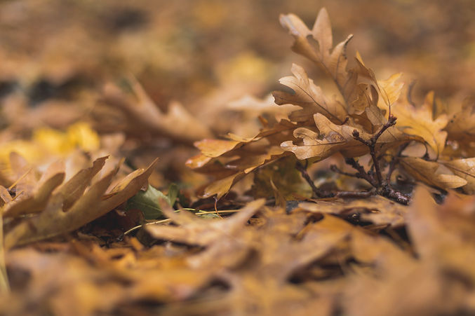 fall-oak-leaves-on-ground.jpg