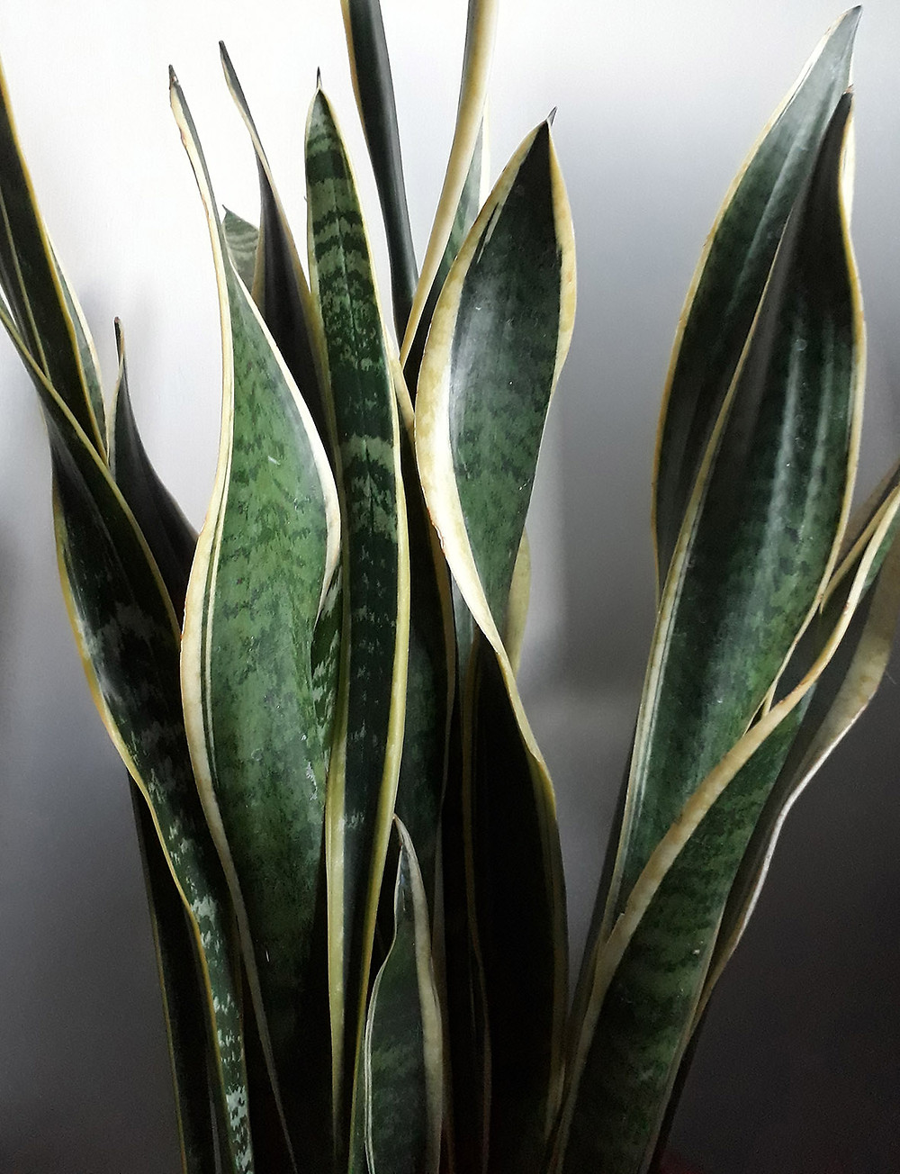 House plant Sansevieria trifasciata. Plants are good for us in so many ways and keeping some in the home needn't be a chore. Health and well being