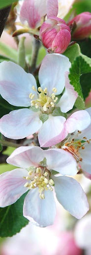 apple blossom small.jpg