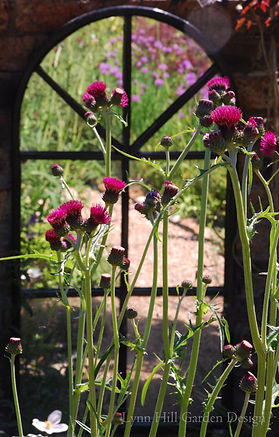 Purple Thistle Cirsium, reflections in the garden mirror bring added interest to the garden. wildlife garden design Edinburgh Scotland