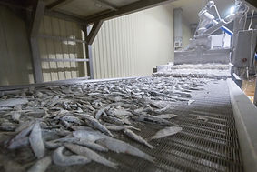 fish conveyor, fish processing plant.jpg