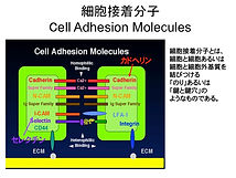 Cell adhesion molecules 図1.jpg