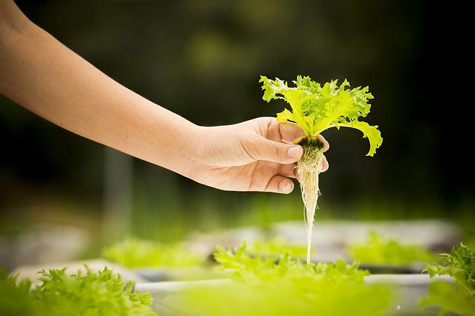 Hand of farmer hold Hydroponics vegetabl