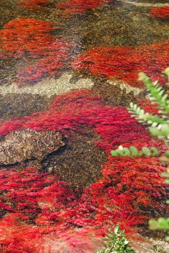 Macarenia-Clavigera-planta-endemica-de-L
