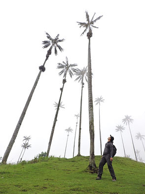 Palma de cera Cocora