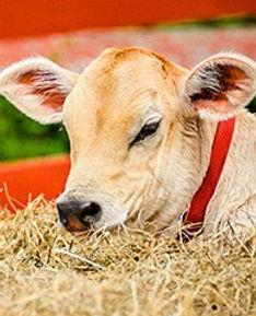 Cows_icon.jpg