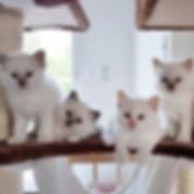 chatons sacré de birmanie