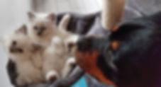 chatons sacré de birmanie avec un rottweiler