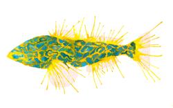 KelpGreenling