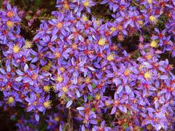 Calytrix. Star Flower