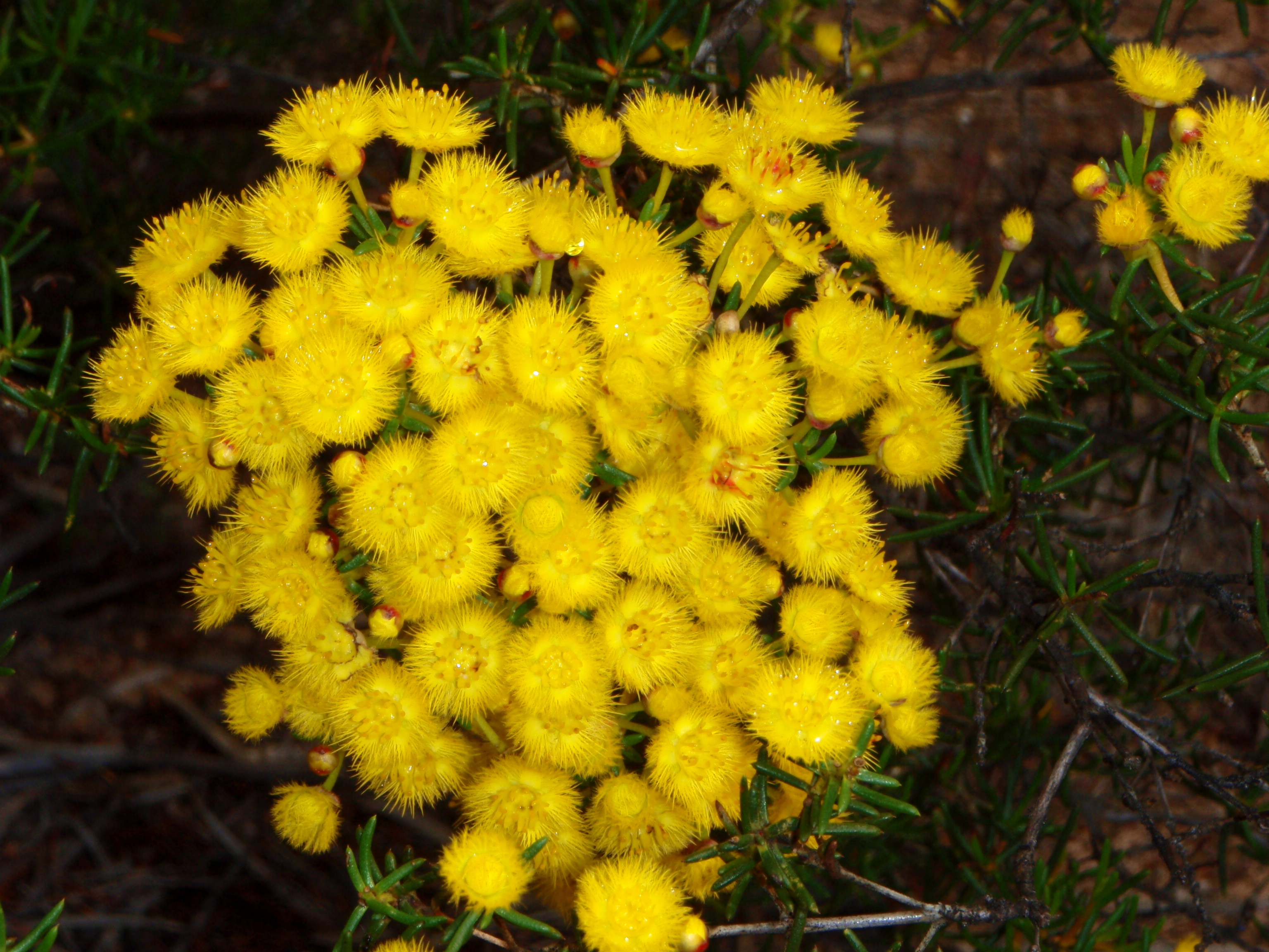 Verticordia. Woolly Feather Flower