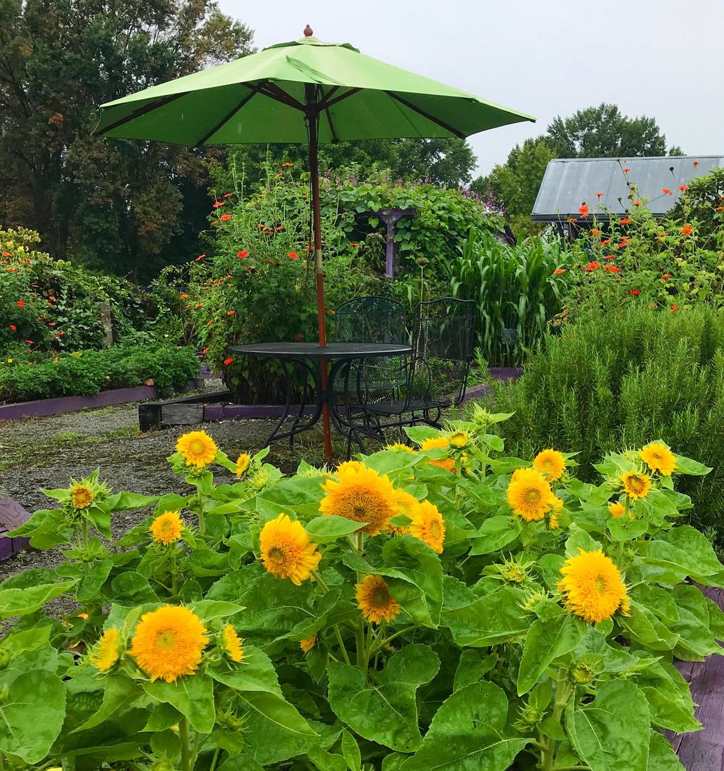 Sunflowers in the Kitchen Garden.jpeg