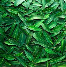 Mentholyptus (Shake & Vape)