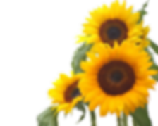 three sunflowers.png
